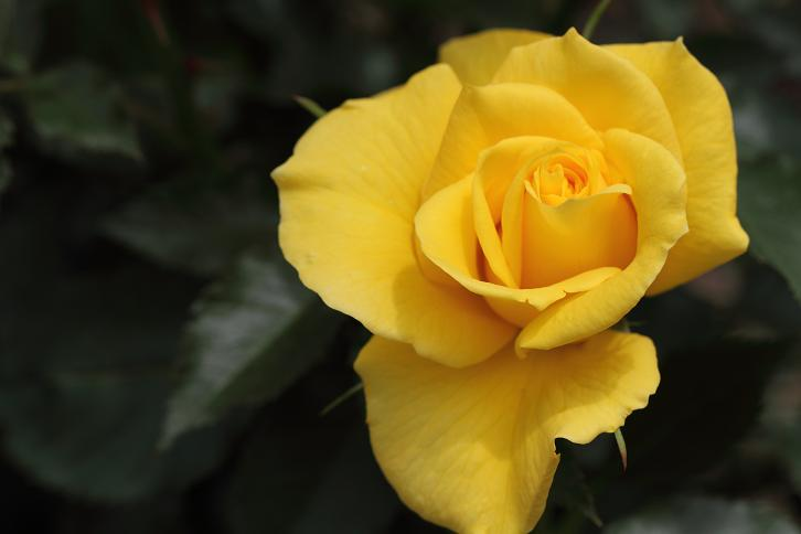 2012.05.12・『 花の文化園・薔薇 』 大阪府 河内長野市 07