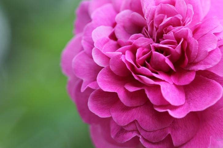 2012.05.12・『 花の文化園・薔薇 』 大阪府 河内長野市 06