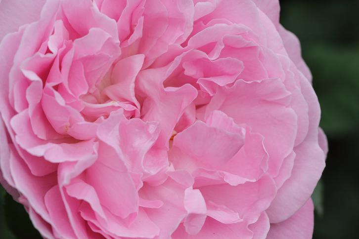 2012.05.12・『 花の文化園・薔薇 』 大阪府 河内長野市 05