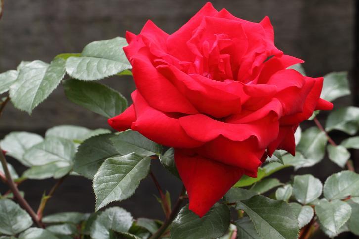 2012.05.12・『 花の文化園・薔薇 』 大阪府 河内長野市 01