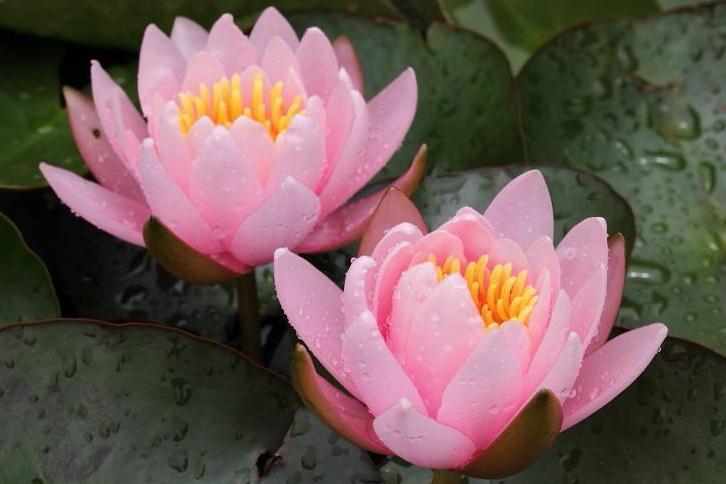2012.07.06・『 花の文化園・蓮 』 大阪府 河内長野市 02