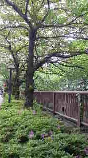中目の葉桜