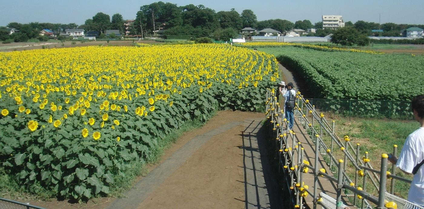20120821清瀬ひまわりフェスティバル