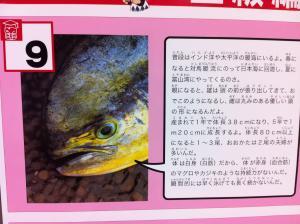 シイラです。夏の魚ですよ。