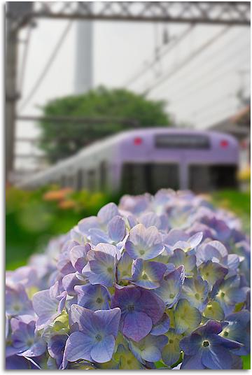 紫陽花と井の頭線