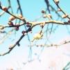 黄色の梅のつぼみついてきたよ