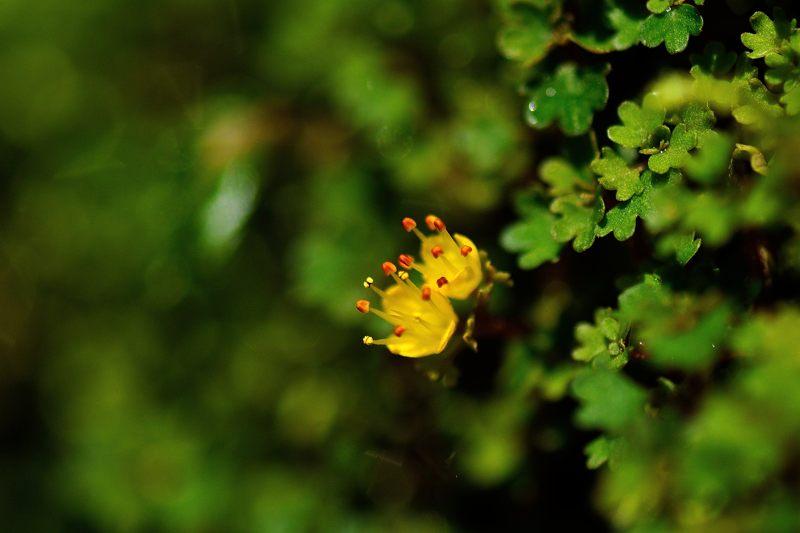 キバナハナネコノメ(黄花花猫の目)