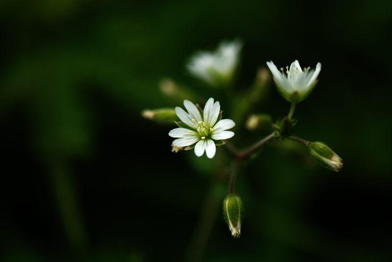 コバノミミナグサ(小葉の耳菜草)