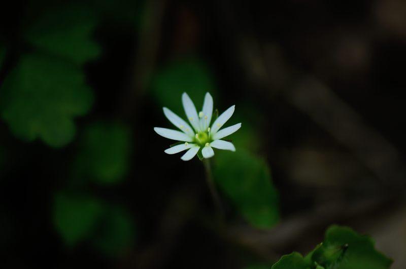 ミヤマハコベ(深山繁縷)