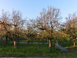 柿の木の消毒その後