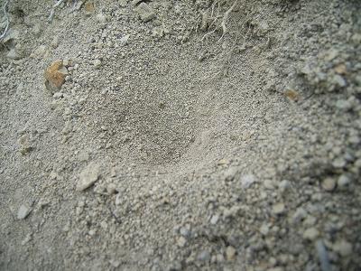 アリジゴク巣