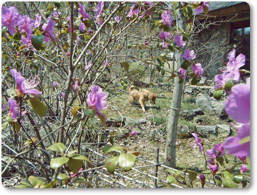 エゾムラサキの花フレームと犬