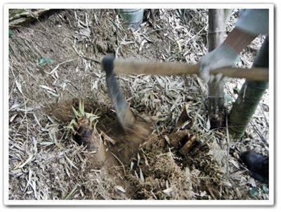 竹の子掘り方