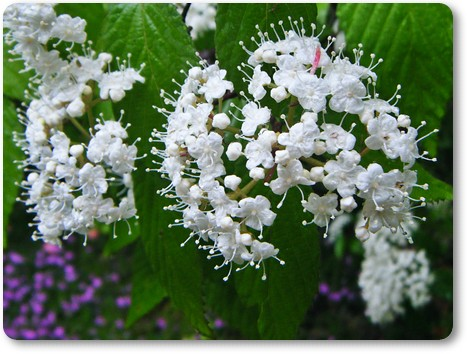 コバノガマズミの花拡大