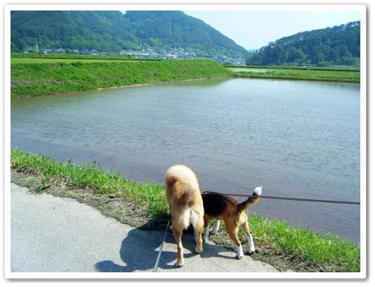 田んぼと犬
