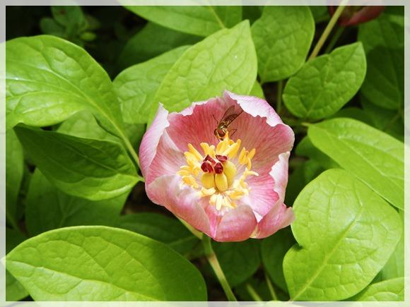 咲き始めたベニヤマシャクヤク