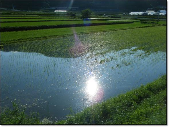 田んぼに映る太陽