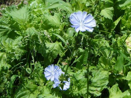 トレビスの花