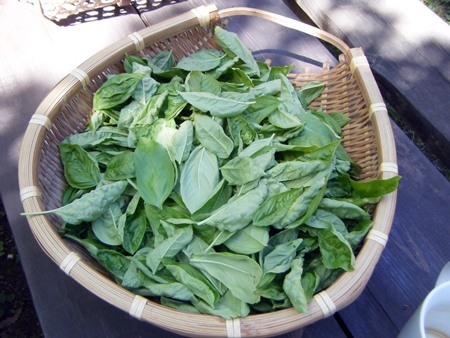 摘んだ生バジルの葉