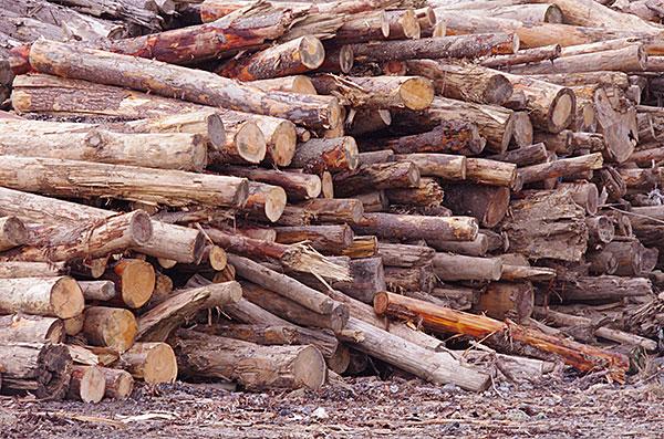 損壊した松原の松