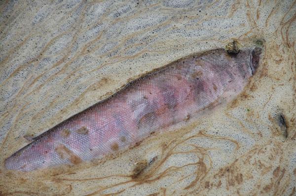 イギリス海岸の鮭の死骸