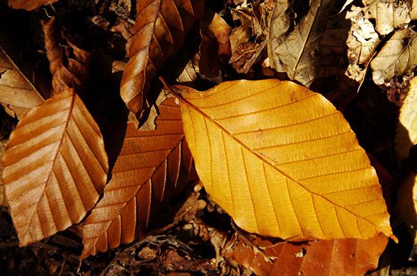 牛形山のブナの紅葉