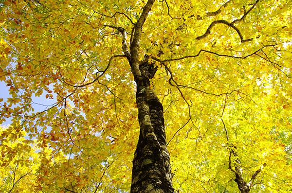 牛形山のブナの黄葉