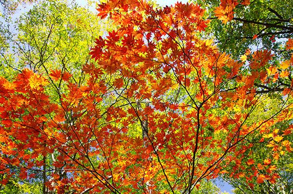牛形山のカエデの紅葉