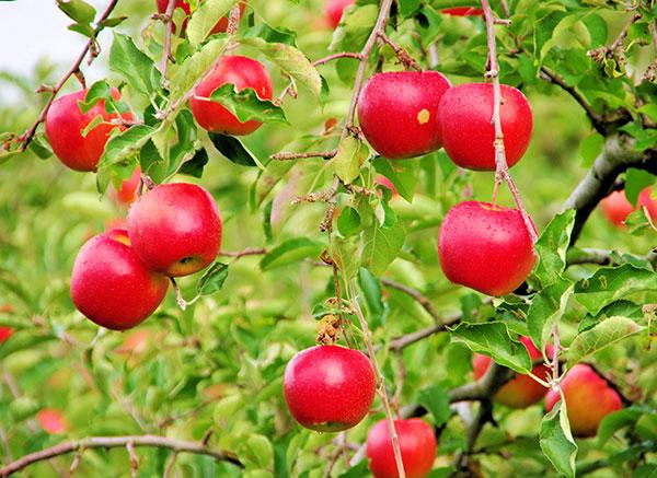 花巻市石鳥谷のりんご畑