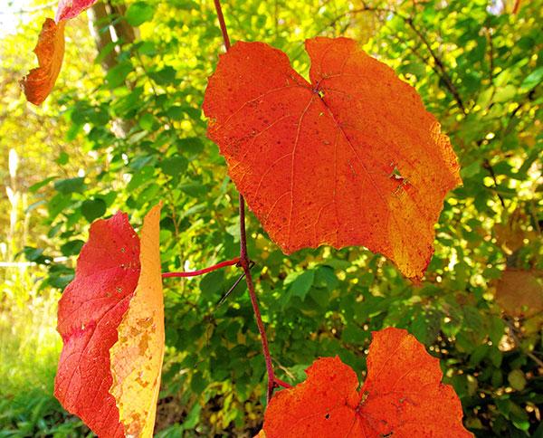 葛巻町の山ぶどうの紅葉