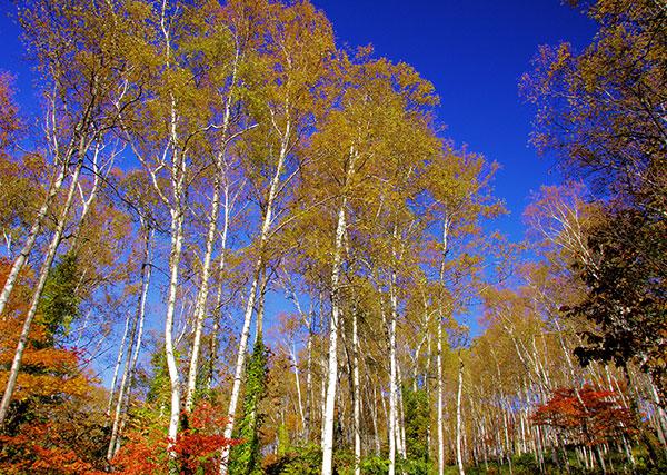 平庭高原の白樺の黄葉