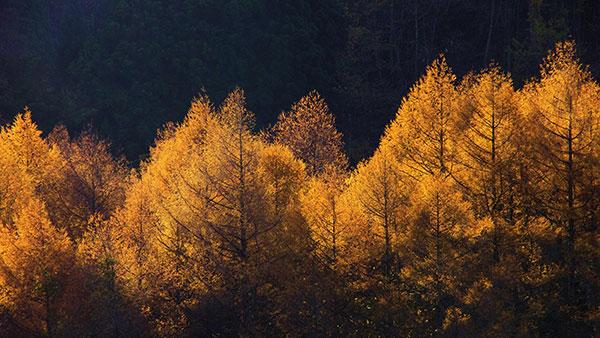 釜石市橋野のカラマツの黄葉