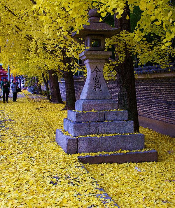 今宮神社参道のイチョウ