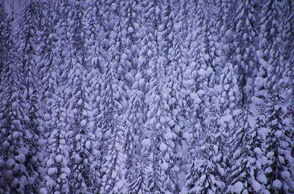 ジュネス栗駒スキー場の杉林