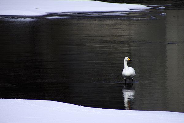 馬淵川の白鳥