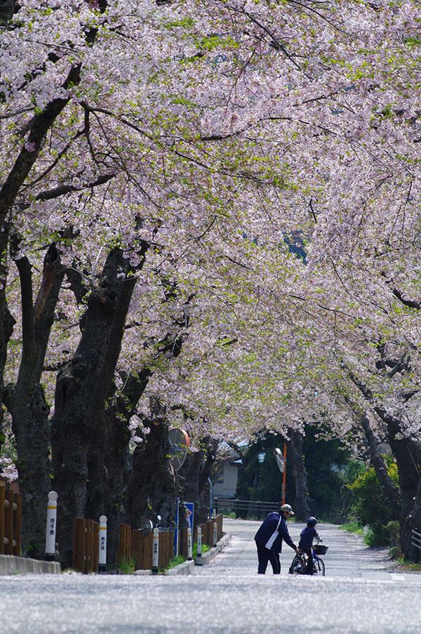 釜石市唐丹の桜並木