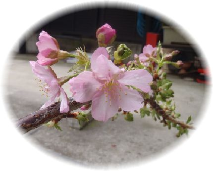 2013-02-05 sakura