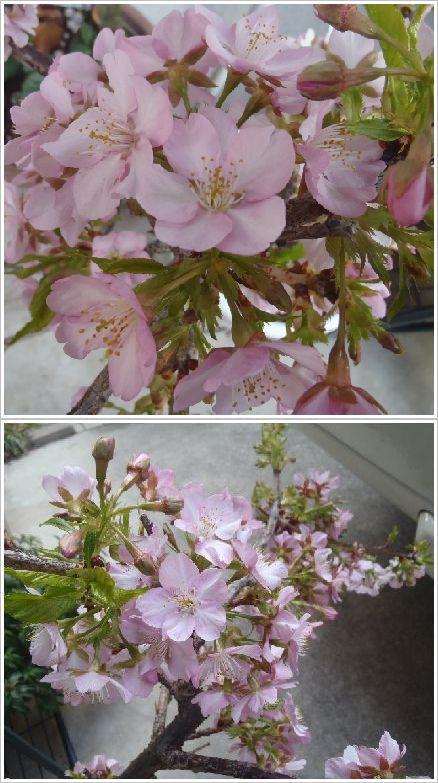 我が家の桜は満開です☆