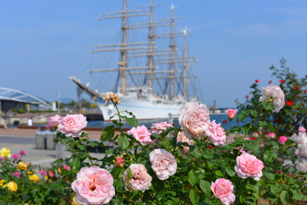 薔薇と帆船海王丸