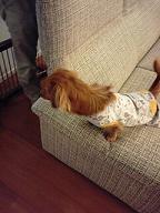ソファーから覗く犬太郎
