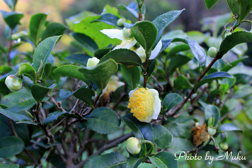 2014.11.30 茶の花 (散歩道:神奈川県横須賀市)
