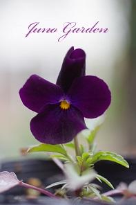 開花14ビオラ