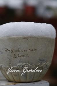 雪ベビーチューリップ