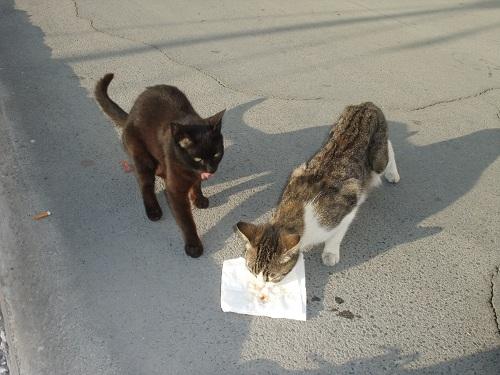 エラフォニソスの猫さん (1)