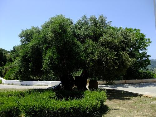 ヴーヴェスのオリーブの木  (2)