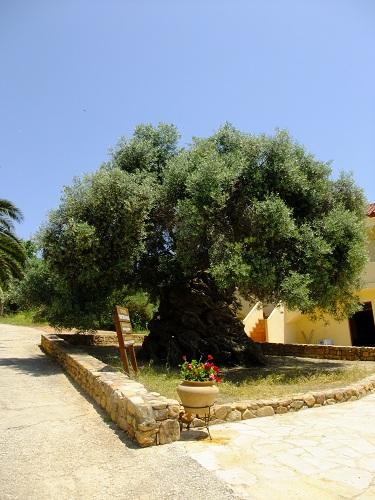 ヴーヴェスのオリーブの木  (1)