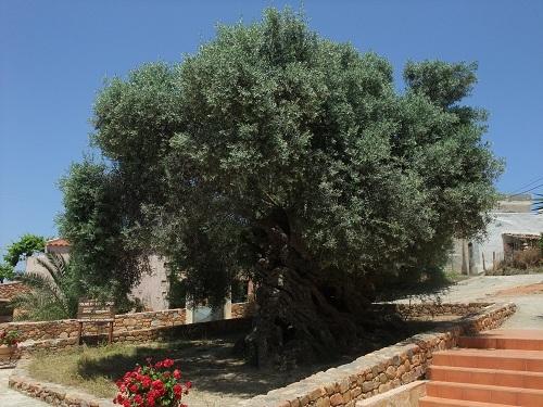ヴーヴェスのオリーブの木  (3)