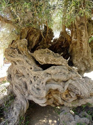 ヴーヴェスのオリーブの木  (4)