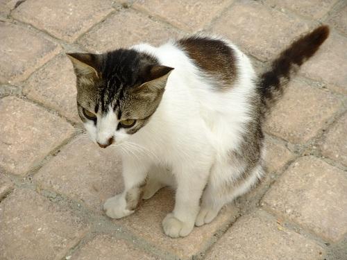 スペツェスの猫さん (3)
