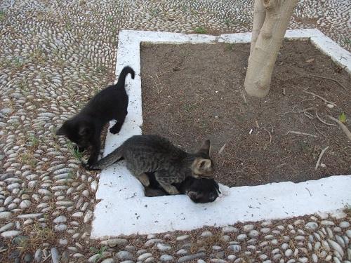 スペツェス_Αγ.ニコラオスの猫さん (2)